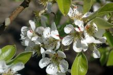 Image related to Pear (Pyrus spp.)-Pacific Coast Pear Rust