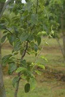 Image related to Pear (Pyrus spp.)-Powdery Mildew