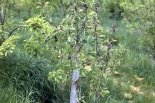 Image related to Pear (Pyrus spp.)-Pseudomonas Blossom Blast and Dieback