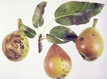 Image related to Pear (Pyrus spp.)-Scab