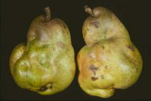 Image related to Pear (Pyrus spp.)-Stony Pit