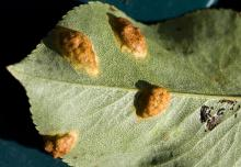 Image related to Pear (Pyrus spp.)-Trellis Rust (European Pear Rust)