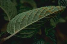Image related to Peppermint and Spearmint (Mentha spp.)-Rust