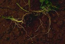 Image related to Peppermint (Mentha spp.)-Nematode, Root-lesion
