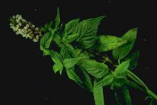Image related to Peppermint (Mentha spp.)-Spotted Wilt