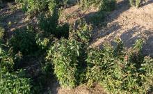 Image related to Peppermint (Mentha spp.)-Verticillium Wilt