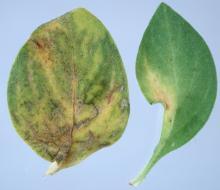Image related to Petunia (Petunia spp.)-Viruses