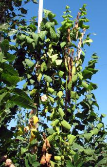 Image related to Plants Resistant or Susceptible to Verticillium Wilt