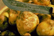 Image related to Potato (Solanum tuberosum)-Late Blight
