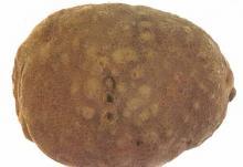 Image related to Potato (Solanum tuberosum)-Nematode, Root-knot
