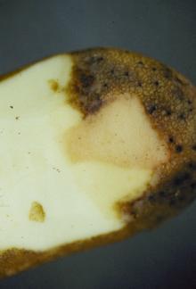 Image related to Potato (Solanum tuberosum)-Pink Rot