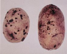 Image related to Potato (Solanum tuberosum)-Rhizoctonia Canker (Black Scurf)