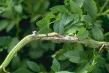 Image related to Potato (Solanum tuberosum)-White Mold (Sclerotinia Stem Rot)