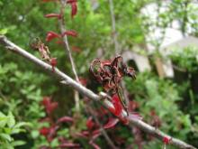 Image related to Prune and Plum (Prunus spp.)-Brown Rot