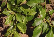 Image related to Prune and Plum (Prunus spp.)-Virus Diseases (Tomato Ringspot)