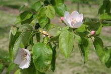 Image related to Quince-Leaf Spot