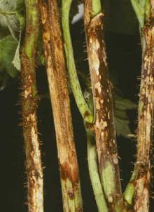 Image related to Raspberry (Rubus spp.)-Anthracnose