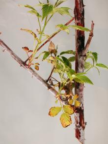 Image related to Raspberry (Rubus spp.)-Ascospora Dieback
