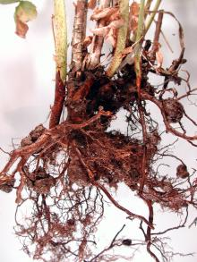 Image related to Raspberry (Rubus spp.)-Crown and Cane Gall