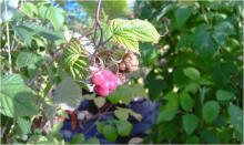 Image related to Raspberry (Rubus spp.)-Crumbly Fruit