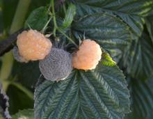 Image related to Raspberry (Rubus spp.)-Fruit Rot and Cane Botrytis
