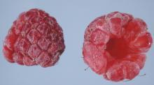 Image related to Raspberry (Rubus spp.)-Powdery Mildew