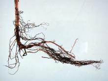 Image related to Raspberry (Rubus spp.)-Root Rot