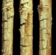 Image related to Raspberry (Rubus spp.)-Spur Blight