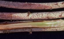 Image related to Raspberry (Rubus spp.)-Verticillium Wilt