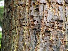 Image related to Recognizing Sapsucker Damage on your Trees