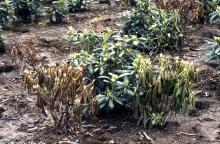 Field planted Rhododendron plants
