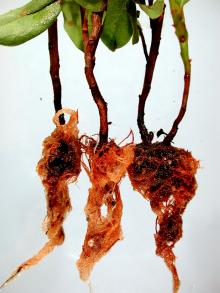 Image related to Rhododendron-Phytophthora Root Rot