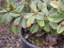 Image related to Rhododendron-Ramorum Leaf Blight and Shoot Dieback