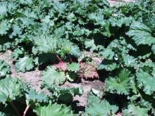 Image related to Rhubarb (Rheum rhabarbarum)-Red Leaf