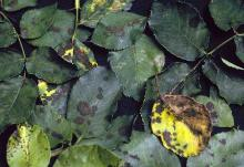 Image related to Rose (Rosa spp.) and hybrids-Black Spot