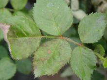 Image related to Rose (Rosa spp.) and hybrids-Downy Mildew