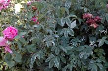 Image related to Rose (Rosa spp.) and hybrids-Powdery Mildew