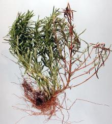 Image related to Rosemary (Rosmarinus officinalis)-Botrytis Stem Canker