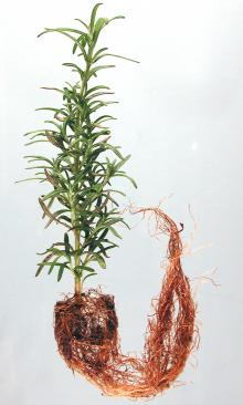 Image related to Rosemary (Rosmarinus officinalis)-Root Rot
