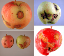 distorted fruit with scab