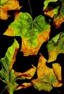 Image related to Maple (Acer spp.)-Leaf Scorch