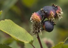 Image related to Serviceberry (Amelanchier spp.)-Rust