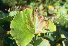 Image related to Squash (Cucurbita spp.)-Alternaria Leaf Blight