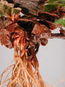 Image related to Strawberry (Fragaria spp.)-Black Root Rot Complex