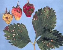 Image related to Strawberry (Fragaria spp.)-Common Leaf Spot