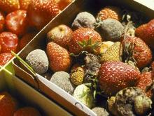 Image related to Strawberry (Fragaria spp.)-Gray Mold (Fruit Rot)