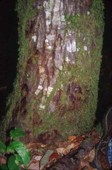 Image related to Tanoak (Notholithocarpus densiflorus)-Sudden Oak Death