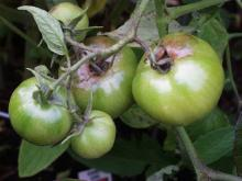 Image related to Tomato (Lycopersicon esculentum)-Late Blight