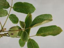 Image related to Walnut (Juglans spp.)-Blight