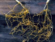 Image related to Wheat (Triticum aestivum)-Nematode, Cereal Root-knot